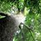 金丝楠木树
